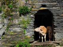 Country landscape in Svaneti. Cows are hiding from the sun in abandoned houses in Ushguli, Svaneti, Georgia Stock Photos