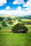 Country landscape with two cows and a brown bull looking straight into the camera from a lush green pasture of grass royalty free stock image