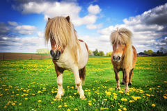 Country landscape with two shetland ponies Royalty Free Stock Photo
