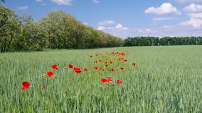 Country landscape with wheat field and red poppies stock video