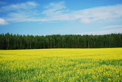 Country landscape with yellow rape field. Stock Photos