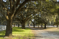 Country lane with Spanish moss royalty free stock images