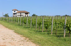 Country Lane Beside a Vineyard Stock Photography