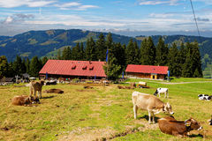 Country life at Bavarian Alp summer season. The Obere Kalle Alp in Allgau, Germany. Characteristic scenery in summer where cows graze outside. People hike and Royalty Free Stock Photography