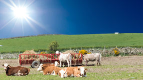 Country life - Cattle eating Stock Photo