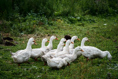 Country Life. Herd of white domestic geese Stock Image