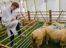 Country Life - Man Judging Sheep Quality Stock Photography