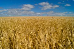 Country life. Wheat field. Ukraine. royalty free stock photos
