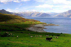 Country life new zealand (4). Tranquil country life in new zealand Stock Photo