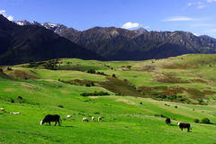 Country life new zealand (5). Tranquil country life in new zealand Stock Image