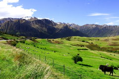 Country life new zealand. Tranquil country life in new zealand Royalty Free Stock Images