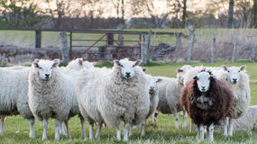 Country life - Sheep Stock Image