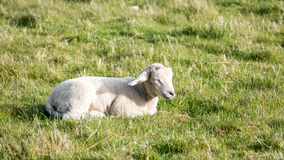 Country life - Sheep Royalty Free Stock Photos