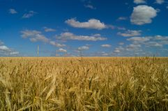 Country life. Wheat field. Ukraine. royalty free stock photo