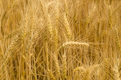 Country life. Wheat. Ukraine.Wheat. stock images