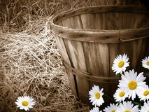 daisies with bushel basket stock image