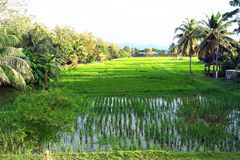 Country living, Country life, Country landscape, Rice Paddy Field Stock Photography