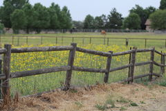 Country lodge pole fencing with yellow flowers. A lodge pole fence with yellow flowers and a horse in the background. A beautiful country scene stock photo