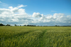 Country nature with big cereal field in the morning stock photo