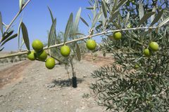 Country olive young trees hill field Stock Images