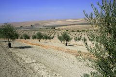 Country olive young trees hill field Royalty Free Stock Image