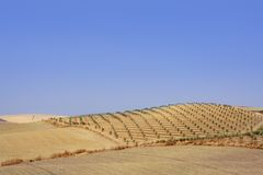 Country olive young trees hill field Royalty Free Stock Photography