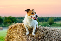 Country pastoral scene with dog sitting on haystack at sunset. Jack Russell Terrier sitting on dry hay stack Stock Photo