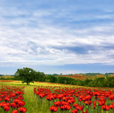 Country Poppy Meadows Stock Image