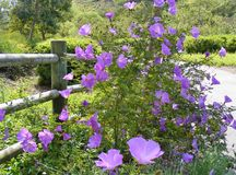 COUNTRY PURPLE FLOWERS ENTWINED IN A WOODEN FENCE Royalty Free Stock Photos