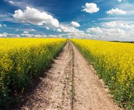 Country road across rape field Royalty Free Stock Photo