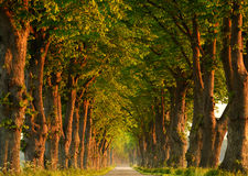 Country Road. Through an alley of trees with the morning light on the trees Stock Photo