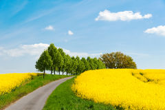 Country road along blooming rape fields in Western Pomerania Royalty Free Stock Photo