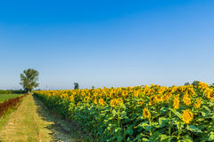 Country road along a cultivated field of blooming sunflowers Royalty Free Stock Photos