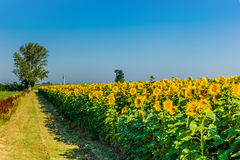 Country road along a cultivated field of blooming sunflowers Royalty Free Stock Photography