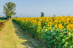 Country road along a cultivated field of blooming sunflowers Stock Image