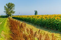 Country road along a cultivated field of blooming sunflowers Royalty Free Stock Image