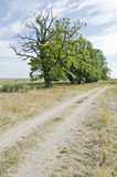 Country road along the oak alley Royalty Free Stock Photo
