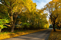 Country Road Autmn Fall Colors. Bright yellow maple trees show off their fall autumn colors along a country road. The color you can see in the woods is a great Stock Photos