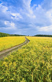 Country road in a barley field Stock Photos