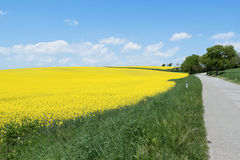 Country road with canola field Royalty Free Stock Photography