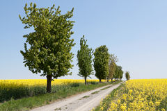Country road with canola field Stock Images