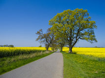 Country road through canola field Stock Image