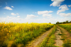 Country road with canola flower royalty free stock image