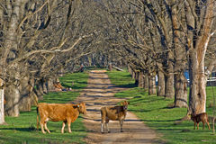 Country road with cows. Cows stand in the middle of the elm tree lined country road Stock Photography