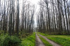 Country road through an elm tree forest with tall bare trees. At the swedish island Oland royalty free stock photo