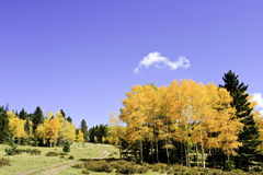 Country road in fall. A country road winding thru aspen groves in fall Royalty Free Stock Image