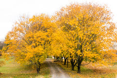 Country road in Fall color. Tree lined rural country road in Fall color, upstate New York Royalty Free Stock Photos