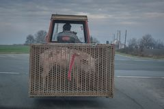 On a country road farmer transporting pig in tractor stock photo