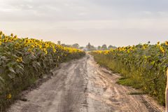 Country road on field of sunflowers Stock Image