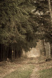 Country road in the forest on misty day. Fall landscape. Country road spruce alley in the autumn forest. Misty hazy autumnal day. Retro vintage image Stock Photography